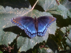 Butterfly at grape arbor